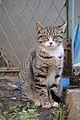 Mackerel tabby cat with orange eyes-Hisashi-02.jpg