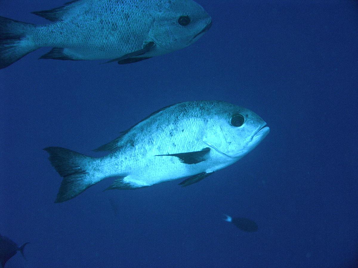 Unduh 77 Koleksi Gambar Ikan Kakap Domba Terbaru