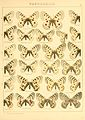 Macrolepidoptera01seitz 0037.jpg