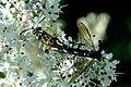 Macrophya.montana3.-.lindsey.jpg