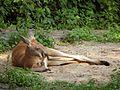 Macropus-rufus-red-kangaroo-resting.jpg