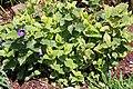 Madeira, Palheiro Gardens - Thunbergia battiscombei IMG 2221.JPG