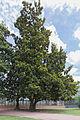 Magnolia à grandes fleurs (Magnolia grandiflora) - 102.jpg