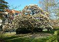 Magnolia de Soulange, Jette.jpg