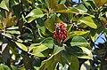 Magnolia grandiflora, Grado 01.jpg