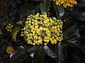Mahonia aquifolium 2016-04-19 8157.jpg