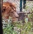 Majestic Lion.jpg