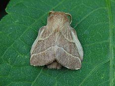 Lackey moth Malacosoma neustrium & Tent caterpillar - Wikipedia