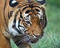 Malay tiger.jpg