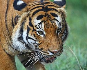 Malayan tiger - Close up of a Malayan tiger's head.