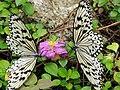 Malaysia - Penang Butterfly Gardens - 04 (5208960098).jpg