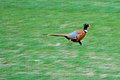 Male Pheasant dash, Frenchman Hills Road.jpg