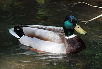 Los Altos, California - Image: Mallard Drake on Adobe Creek 2010