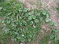 Malva neglecta plant2 (14632717242).jpg
