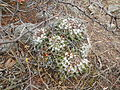 Mammillaria compressa (5706293527).jpg