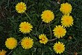 Mani ziedi My flowers - panoramio (28).jpg