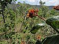 Mariposa Colibri (Sphingidae) em inflorescencia de Galoina (Palicourea rigida).jpg