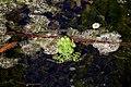 Marsh Frog Spawn.jpg