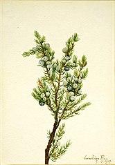 Mountain Juniper (Juniperus sibirica)