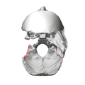 Mastoid border of occipital bone08.png