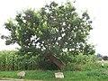 Maulbeerbaum in der Nähe von Weilheim.jpg