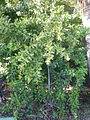 Maytenus canariensis 1c.JPG
