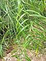 McKay Geitonoplesium cymosum 32515170775 d8112d8f4e o.jpg