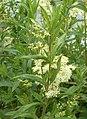 Meadow Sweet (Filipendula ulmaria) - geograph.org.uk - 476397.jpg