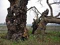 Mediaeval Oak.jpg