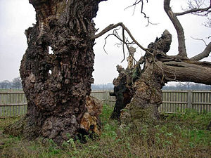 Hampton Court Park - The Mediaeval Oak – said to be 750 years old