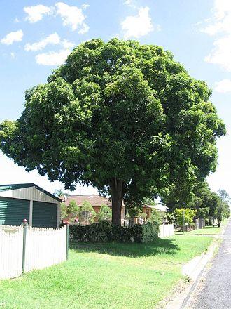 Flindersia - Image: Medium crowash
