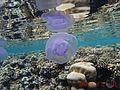Medusozoa .jpg