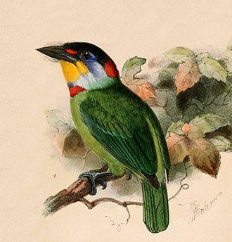 Chinese barbet - Image: Megalaima faber 1870