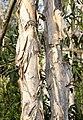 Melaleuca quinquenervia bark.jpg