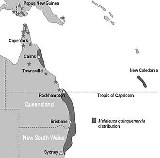 Melaleuca quinquenervia - Melaleuca quinquenervia in Australia