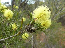 Melaleuca vinnula (leaves, flowers, fruits).JPG