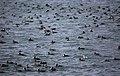 Melanitta perspicillata raft Yaquina Bay.jpg