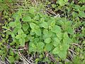 Melissa officinalis Lemon balm.jpg