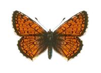 Melitaea arcesia chuana - Seitz.png