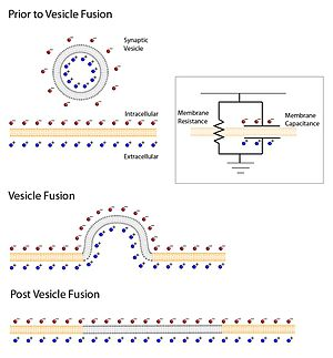 Active zone - A diagram showing the change in membrane capacitance before (top) and after (middle and bottom) vesicle fusion.