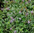 Mentha piperata Peppermint ბაღის პიტნა.JPG
