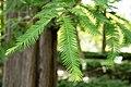 Metasequoia glyptostroboides 07.jpg