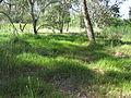 Microlaena stipoides habitat2 (8236466106).jpg