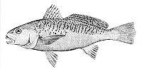 Micropogonias undulatus (line art)