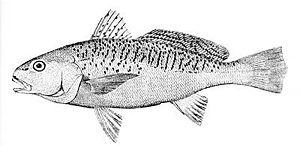 Sciaenidae - Atlantic croaker, Micropogonias undulatus