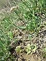 Microthlaspi perfoliatum sl14.jpg