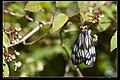Milleria formosana contradicta (15090416464).jpg