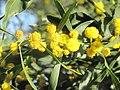 Mimosa du chemin des pins 3.jpg