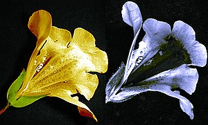 Nectar guide -  Images of a Mimulus flower in visible light (left) and ultraviolet light (right) showing a dark nectar guide that is visible to bees but not to humans