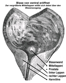 prostata anatomie doccheck
